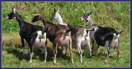 goatsfrontpage
