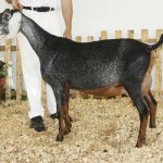 Grayce winning reserve grand at Nubian Specialty