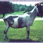 Vaquero - Semen available from some of our top bucks